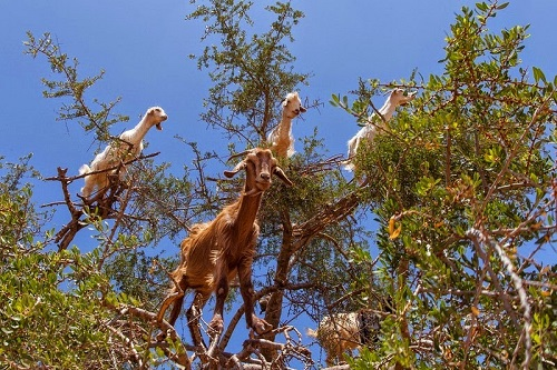 Козы на аргановом дереве